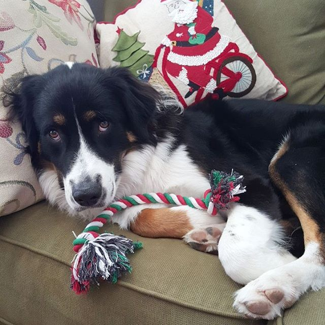 On the couchagain! Busted australianshepherd sillydog